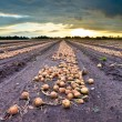 Harvested drying Onion Bulbs — Stock Photo #34025555