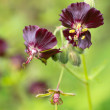 Geranium phaeum flowers — Stock Photo #34028419