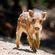 Wild boar piglet — Stock Photo