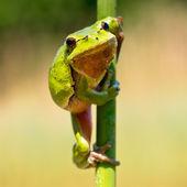 Treefrog salvaje — Foto de Stock