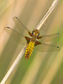 Dragonfly Warming its Wings in the Sun — Stock Photo