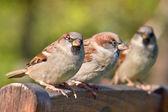 Group of House Sparrow — Stok fotoğraf