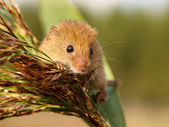 Harvesting Mouse in a reed plume — Stock Photo