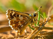 Red Underwing Skipper — Stock Photo