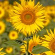 Detail of a Sunflower Field — Stock Photo