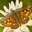 Chequered skipper — Stock Photo