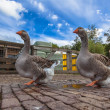 Couple of Farm Goose — Stock Photo