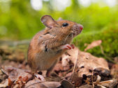 Field Mouse (Apodemus sylvaticus) sniffing — Stock Photo
