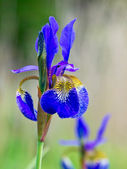 Blaue iris in voller blüte — Stockfoto