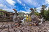 Couple of Farm Goose — Stock Photo