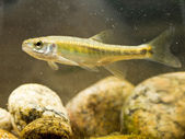 Eurasian Minnow in Natural Habitat — Stock Photo