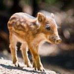 Wild boar piglet — Stock Photo