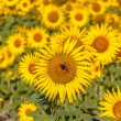 Close up of Sunflower in a Field — Stock Photo