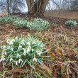Flowering snowdrops under a Tree — Stock Photo