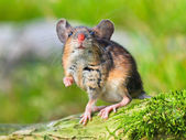 Field Mouse (Apodemus sylvaticus) — Foto Stock