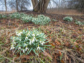 Flowering snowdrops under a Tree — Foto de Stock