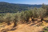 Olive Plantation Tuscany — Foto Stock