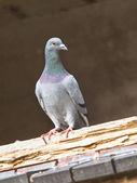 Pigeon in Window Frame — Stock Photo
