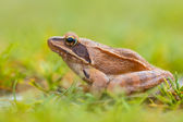 Side View of Agile Frog (Rana dalmatina) in Grass — Stock fotografie