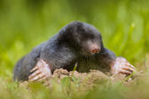 Wild Mole (Talpa europaea) in Natural Habitat — Stock Photo