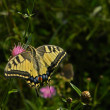 Giant Swallowtail Butterfly. - Stock Photo