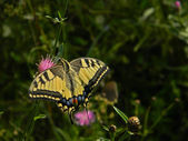 Jätte swallowtail butterfly. — Stockfoto