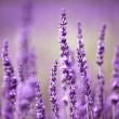 Lavender flower — Stock Photo