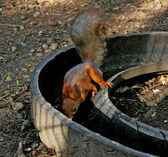 Squirrel on watering. — Stock Photo