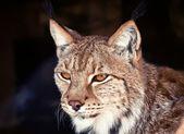 Wild Lynx — Stock Photo
