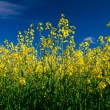 Rapeseed (Brassica napus, canola) — Stock Photo