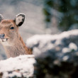 Deer in the winter forest — Stock Photo #20999519