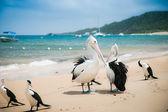 Pelican on the beach, Moreton Island, Australia — Stock Photo