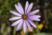 Pink osteospermum — 图库照片