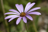 Pink osteospermum — Stock Photo