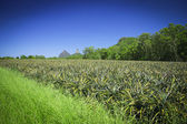 Pineapple field under the Glass House Mountains, Queensland, Australia — Stock Photo