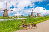 Duck family and windmills in Kinderdijk, Holland — Stock Photo