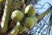 Coconuts — Photo