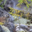 Stock Photo: Northen Pik,rock rabbit,whistling hare,Ochotonhyperborea