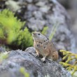 Northen Pika ,rock rabbit,whistling hare,Ochotona hyperborea — Stock Photo