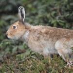 Постер, плакат: Mountain hare Lepus timidus ainu