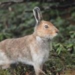 Mountain hare Lepus timidus ainu — Stock Photo