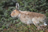 Mountain hare Lepus timidus ainu — Stock Photo