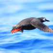 Spectacled Guillemot (Cepphus carbo) — Stock Photo