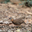 Scaly-breasted Partridge (Arborophila chloropus) — Stock Photo