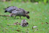 Australian Wood Ducks (Chenonetta Jubata) at Royal National park — Stock Photo