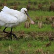 Eurasian Spoonbill(Platalea leucorodia) in Japan — Stock Photo