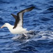 Albatross (Thalassarche melanophris impavida) flying in NSW,Australia — Stock Photo
