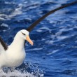 Campbell's Albatross (Thalassarche melanophris impavida) in flight — Stock Photo
