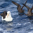 Campbell's Albatross (Thalassarche melanophris impavida) in flight - Stock Photo