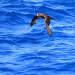 Stock Photo: Grey-faced Petrel (Pterodrommacroptera) at Australia